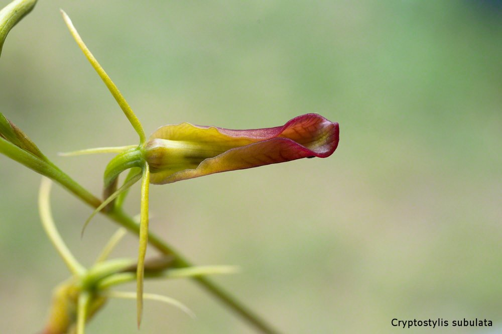 Cryptostylis.subulata  Long Tongue Orchid