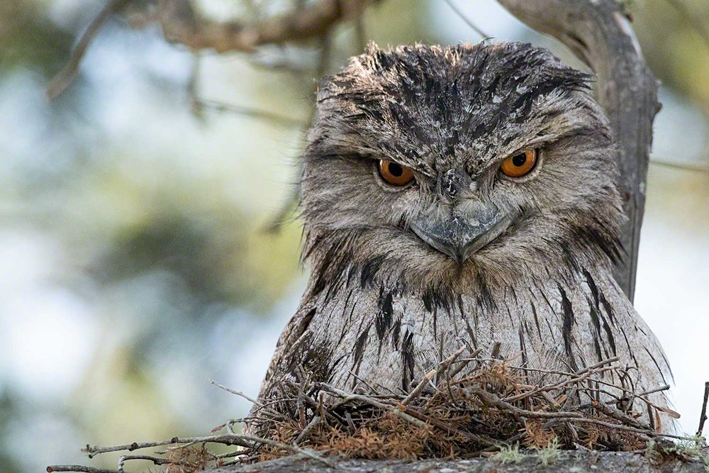 Tawny-Frogmouth-Tiff-Oct-18-lo-res.jpg