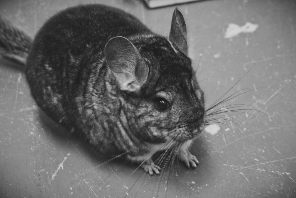 Meet Penelope, the Chinchilla