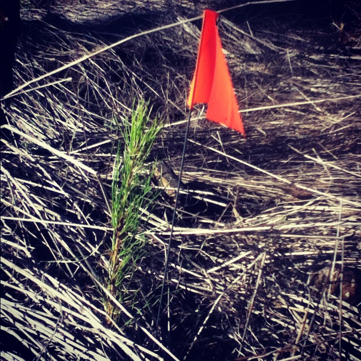 1 of 1000s: Loblolly Pine #tree #seedlings #planted @CampWR (thx to @TPWDparks!) http://ow.ly/fCeT9 http://instagr.am/p/TKBVcbgf8x/