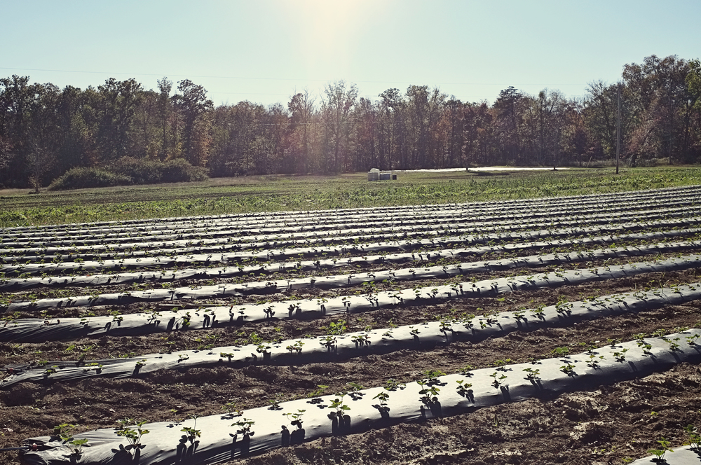 A photo I took of the Colvin Family Farm in the fall of 2011 during one of their shareholder days.