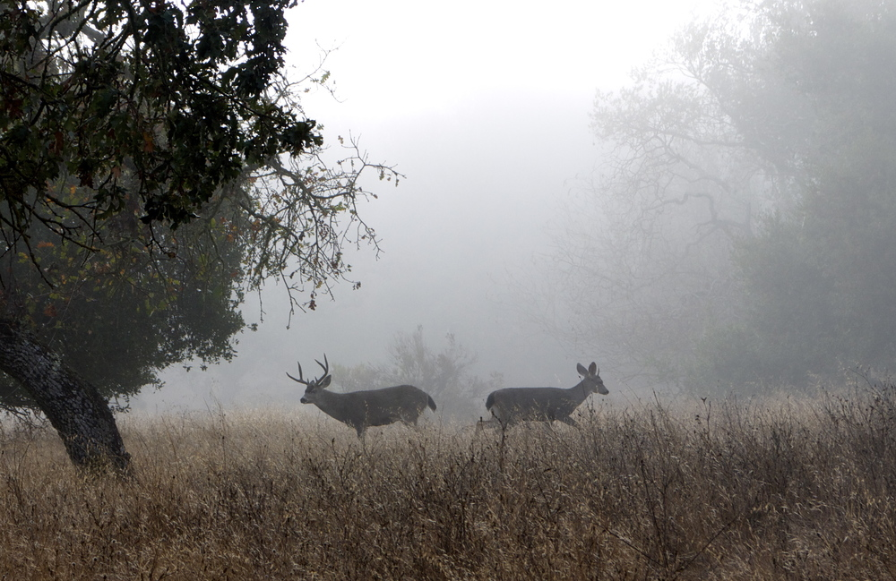 Deer In Fog - Skyline Wilderness Park in Napa, CA