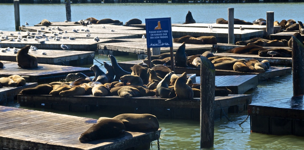 pier39-sea-lions.jpg