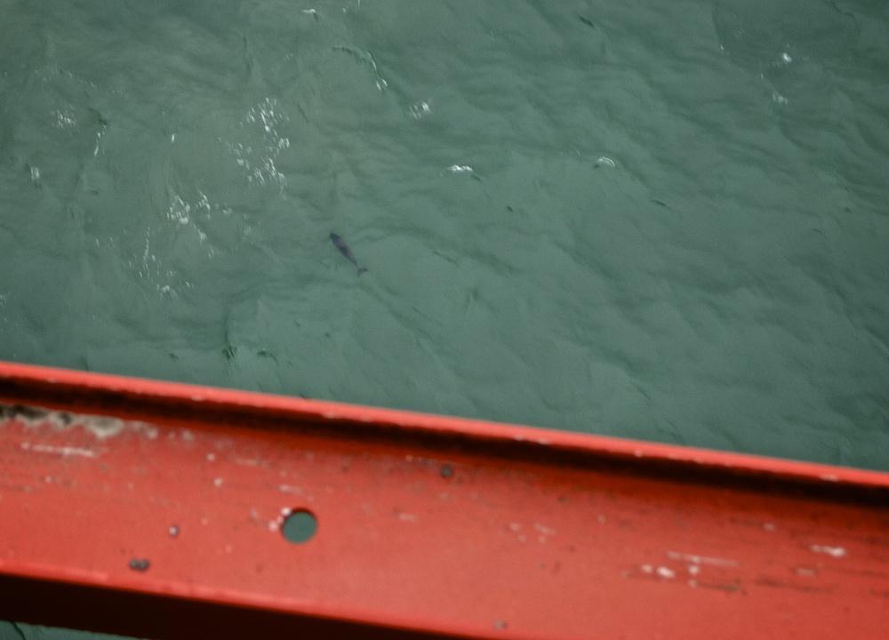 Dolphin under the Golden Gate Bridge