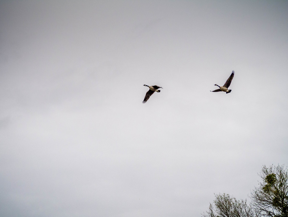 Geese flying the gray skies