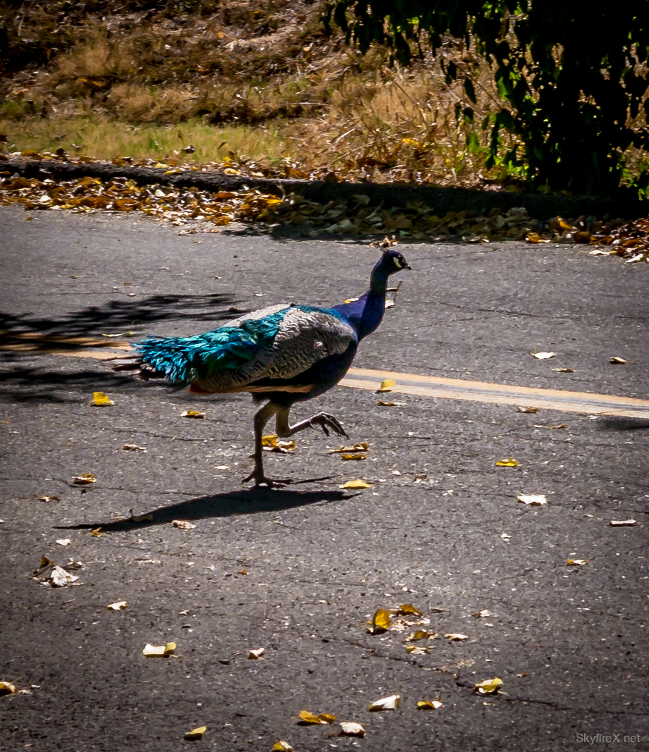Why did the peacock cross the road?