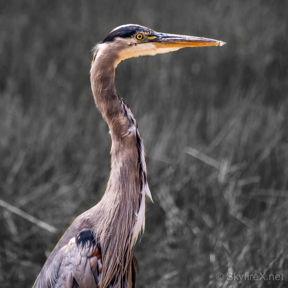 heron-rockville-selective-color