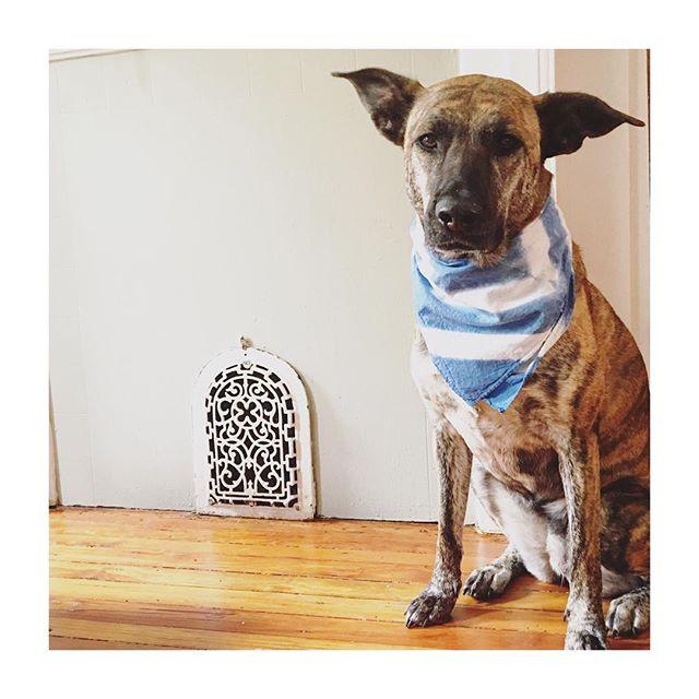 Bandanas restocked! click to shop 😻 . . . #handdyed #dogdecor #dogs #dogsofinstagram #dogfashion #bandana #bandanastyle