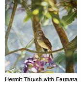 Herm Thrush_fermata_thmb.jpg