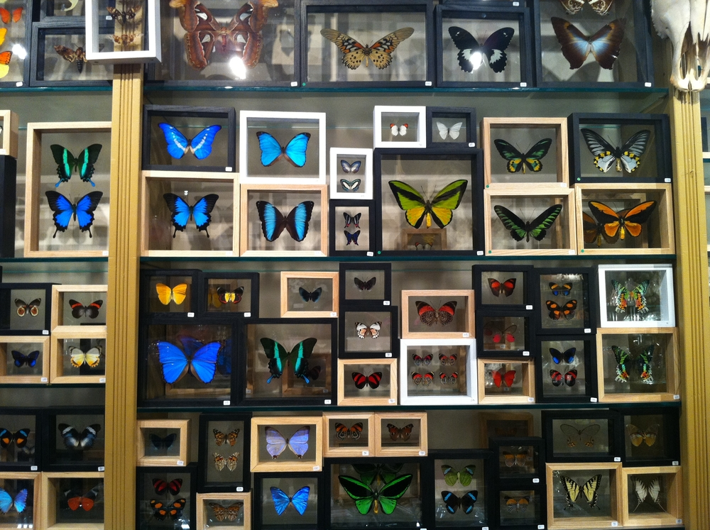 Mounted butterflies at Evolution in Soho, New York City.
