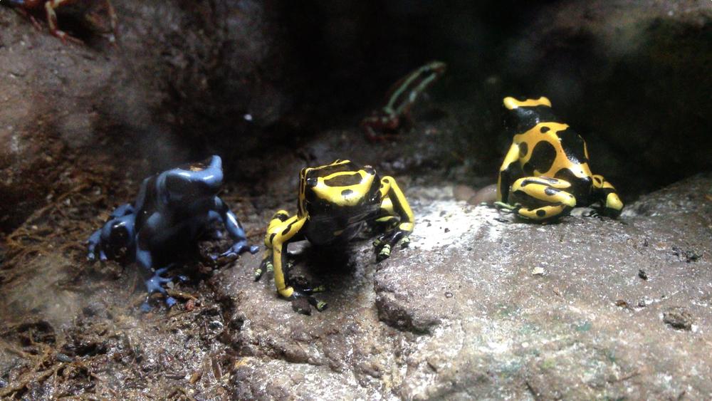 Poison Dart Frogs Lisbon Oceanarium
