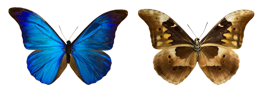 Morpho rhetenor