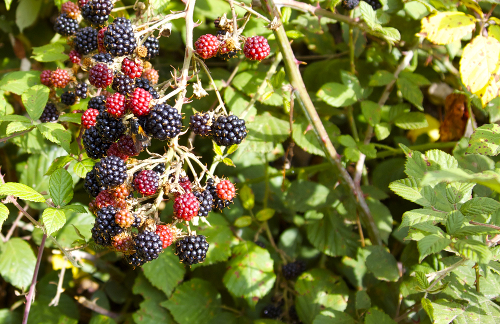 Blackberry season.