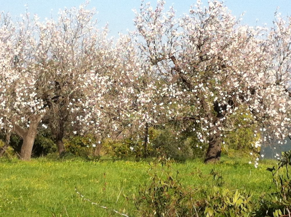 Almond trees on the hill behind the house at Barroqueira