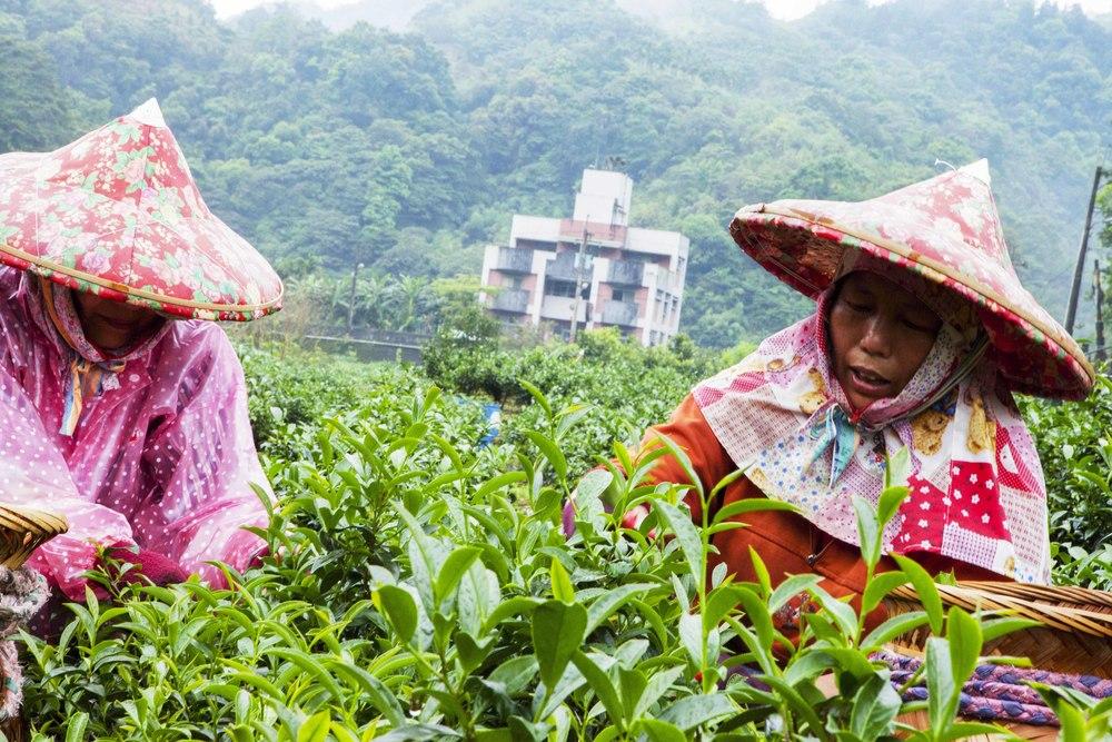 Besuch einer Tee-planage in der nähe vonTaipeh