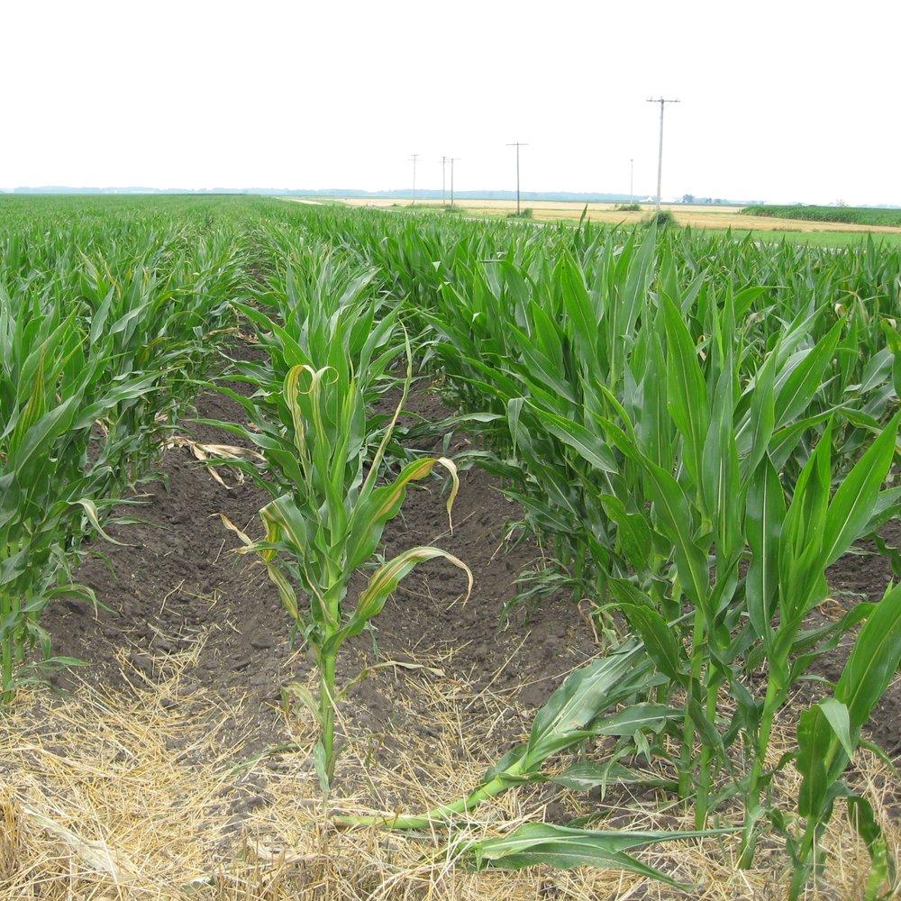 Ridge-till corn