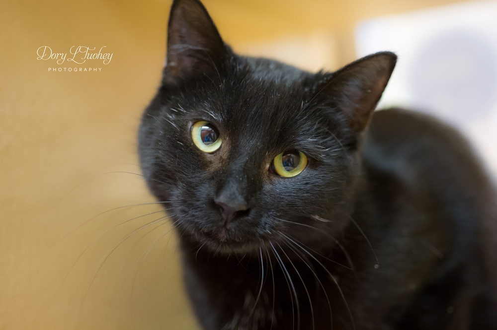 This is Nadya. This sweet kitty likes to sit on your lap, sleep in bed with you, and will follow you around like a puppy. She also loves playing with toys. She is all black with a few white hairs on her chest. She is 1-2 years old.