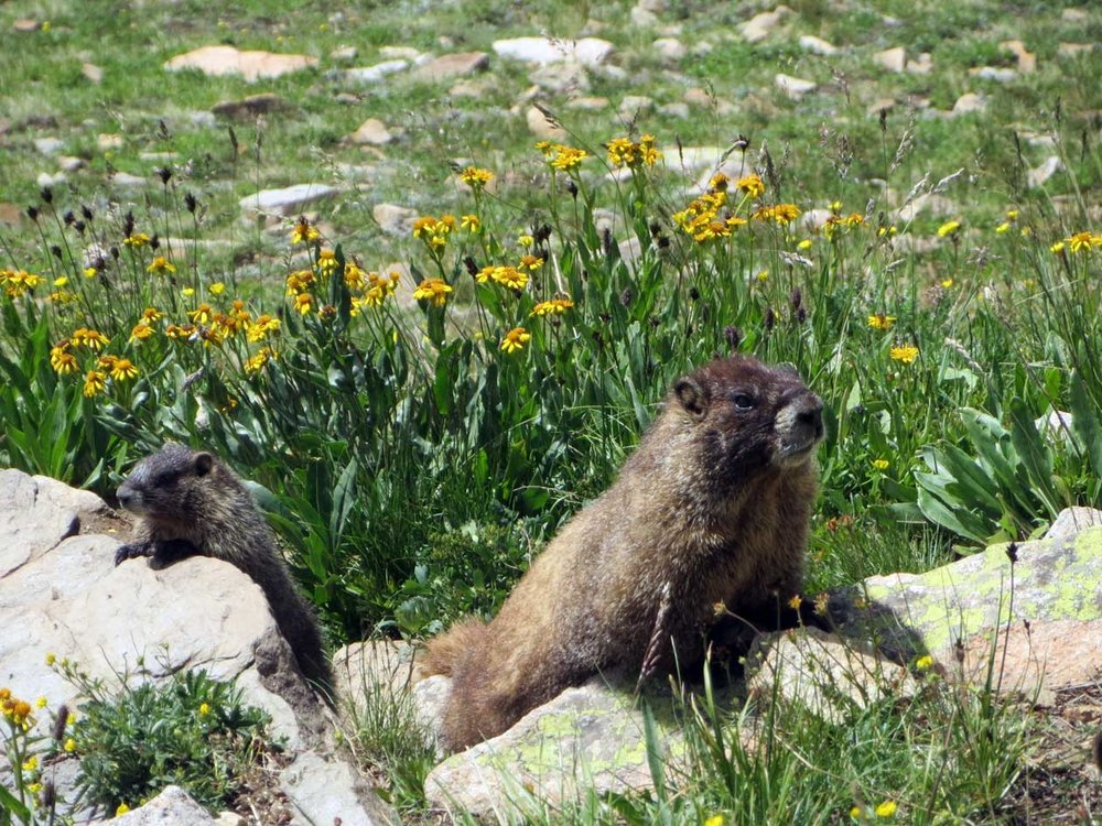 The guy on the right especially was posing. He kept turning so I could photograph each side of him. Yellow bellied marmots near Searle Pass, Day 2.