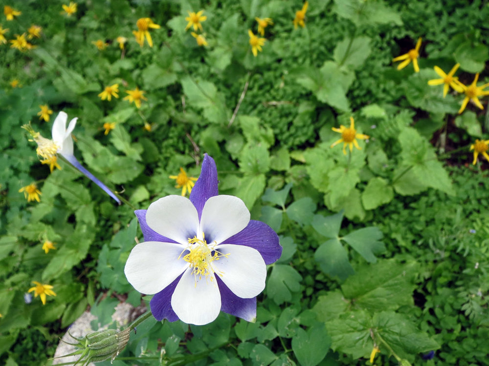 Columbine, state flower of Colorado
