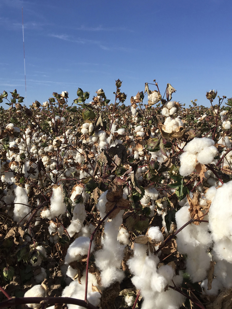 They grow cotton in Las Cruces, NM. Who knew?