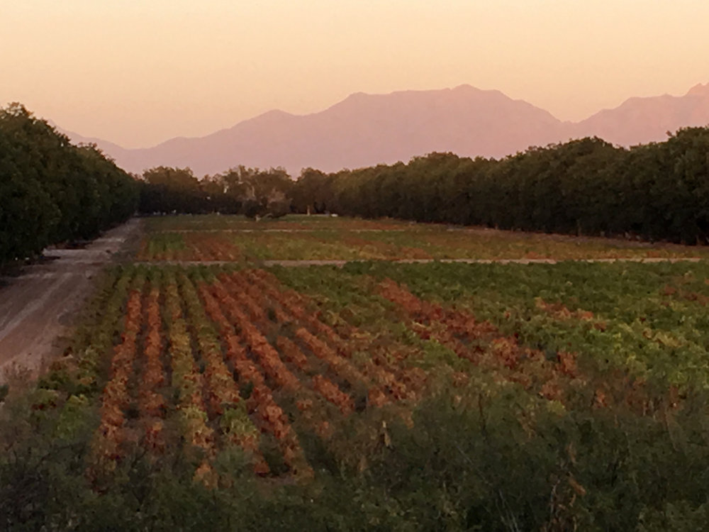Chile fields in front, pecan trees behind. Las Cruces crops.
