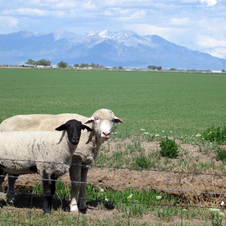 San Luis Valley, CO sheep
