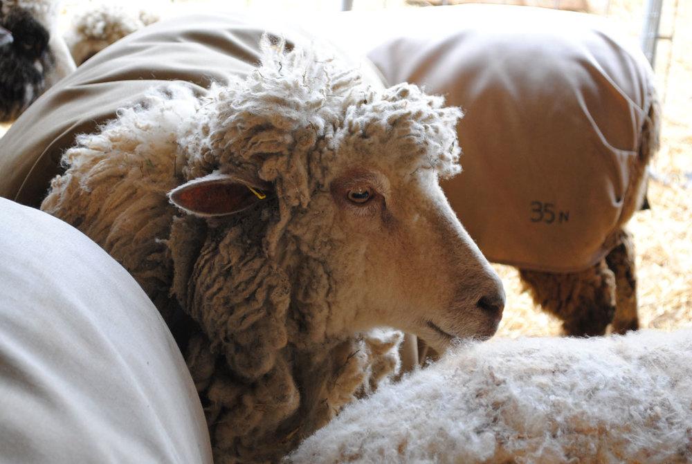 Sheep Feathers Farm