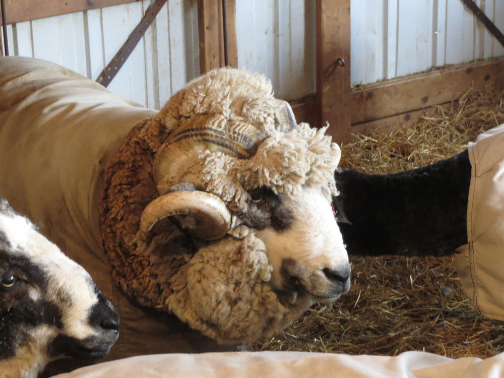 Sheep Feathers Farm sheering day