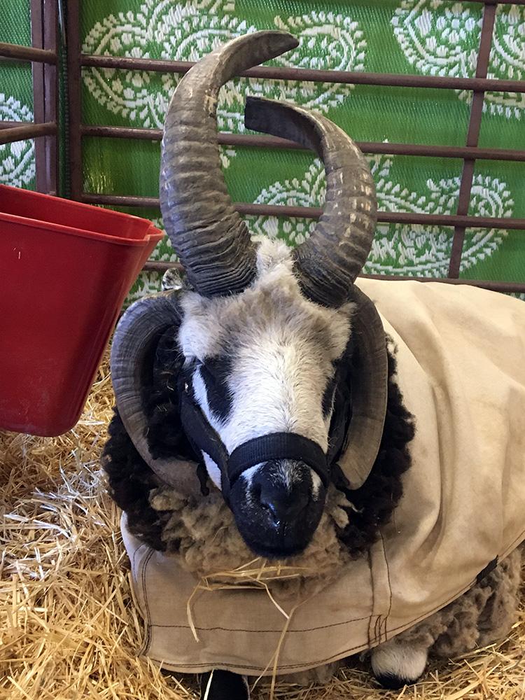 Jacob sheep, Estes Park Wool Market 2018