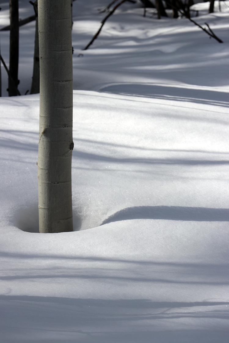 Aspens in the snow, Colorado 2018