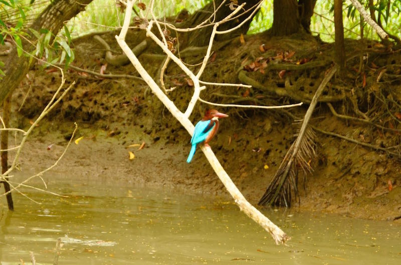 A beautiful Kingfisher, Kerala's signature bird!