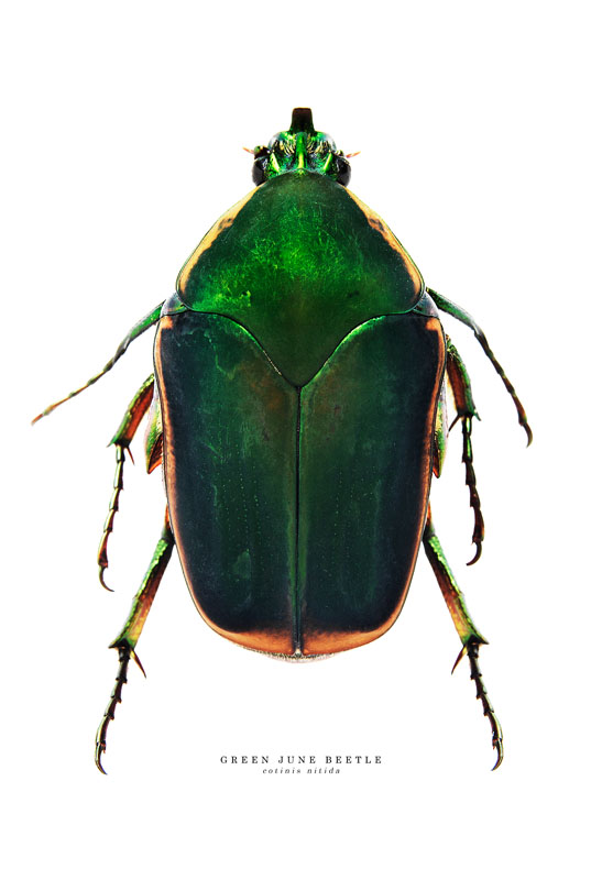 green_june_bug.jpg