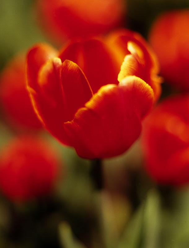 red tulip big.jpg