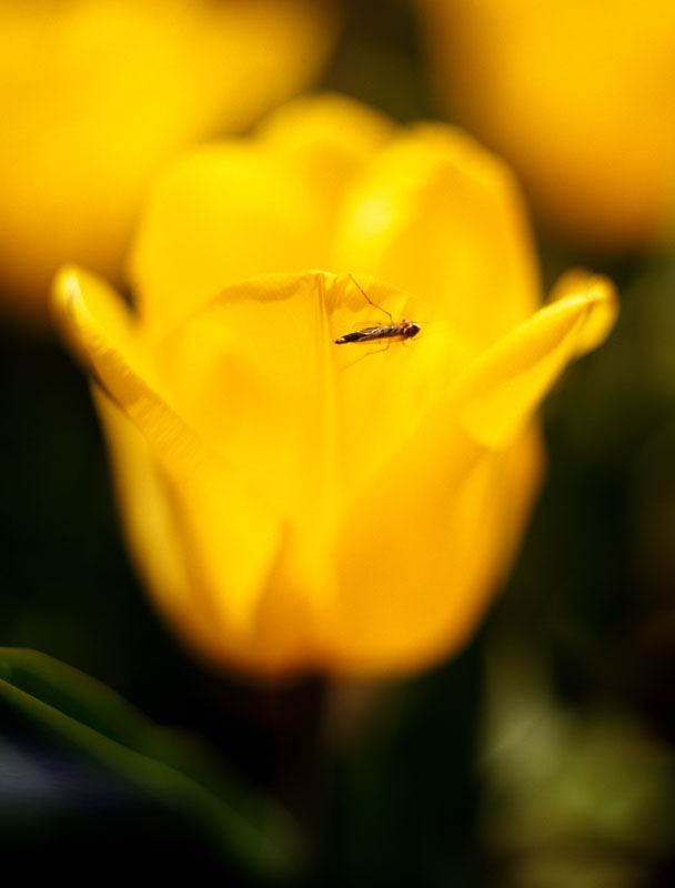 yellow tulip big.jpg