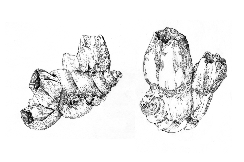 Barnacles-stipple.jpg