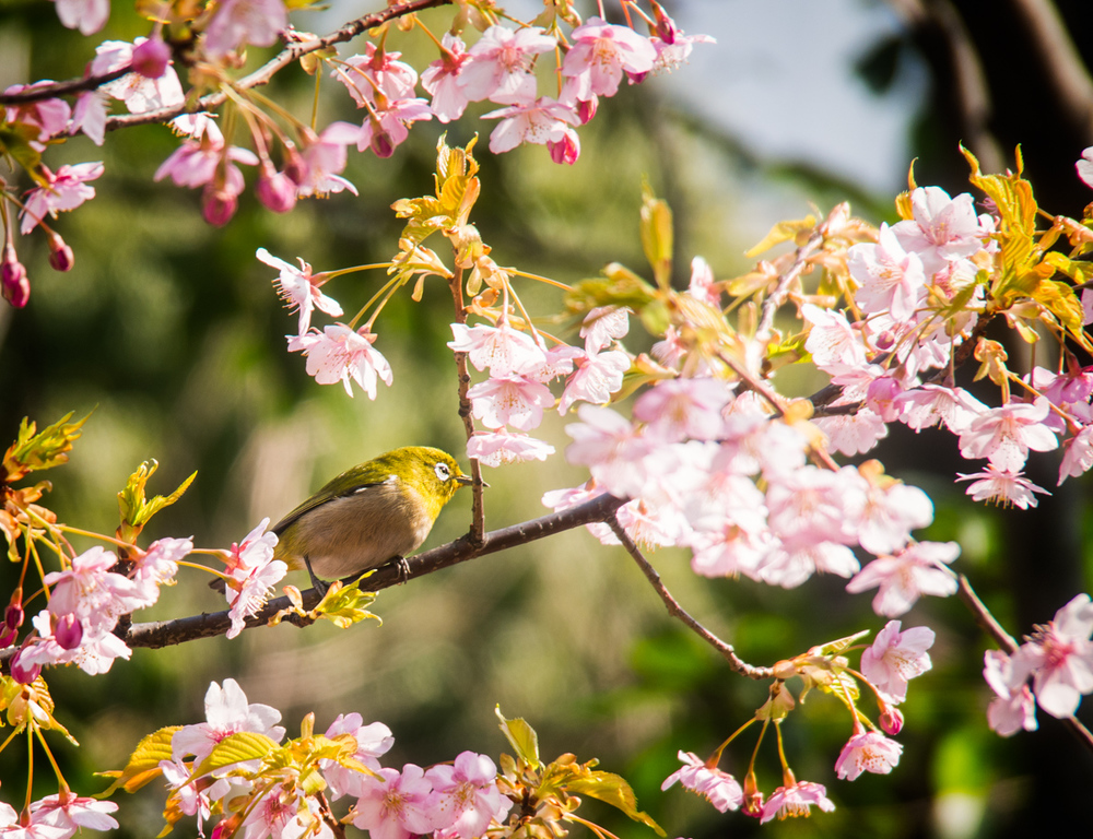 Blossoms and Birds 9 Mar 14-146-Edit.jpg