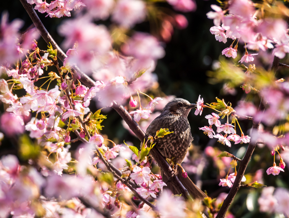 Blossoms and Birds 9 Mar 14-37-Edit.jpg