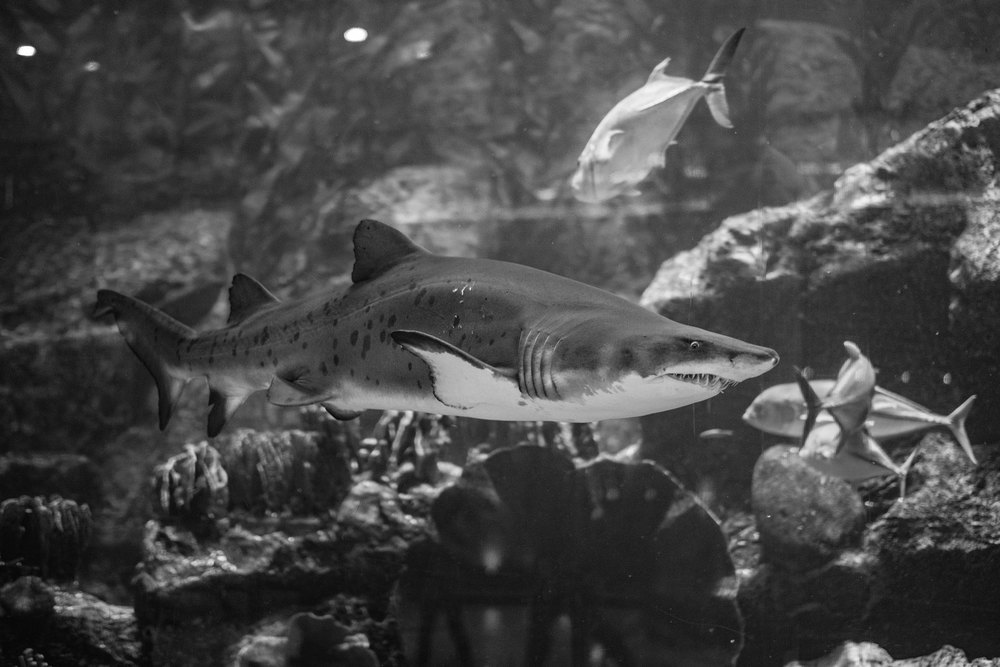 Dubai Mall - Aquarium - X-T1. The long focal length allowed such closeups, while standing 5 meters away. Photoshop was used to remove the glair from the aquarium.
