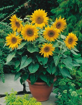 Dwarf Sunsation    Botanical Name: Helianthus annuus  This dwarf variety will grow well in the garden or in pots.  Plant Height: 45cm  Lots of sun and shelter from wind are best. Soil should be well prepared with compost dug in prior to sowing. Good drainage is essential. Plant 6mm direct where they are to grow, in front of a wall or at the back of the garden. Cover and press down firmly.   When To Plant:  North Island: Oct, Nov, Dec  Flowering : 12 weeks
