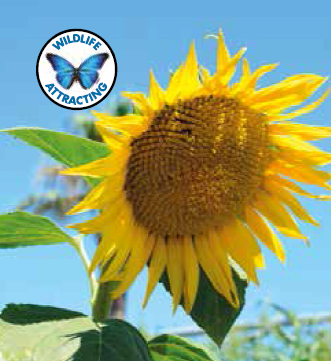 """Sunflower Giant King Kong   Very strong, thick stems. Majestic plant growing to 5m. Feed and water generously to maximise the height. Watch out for overhead power lines!  Tallest of them all – up to 5m Very large main flower up to 40cm across} Great for growing competitions   Plant Height:  5m   How To Grow:  Sow Spring to early Summer, 10mm (½"""") deep and about 50cm (20"""") apart, direct where they are to flower. Keep well-watered and mulched in hot and dry weather. Choose a site that is protected from wind and receives lots of sunlight. Staking recommended at early stage of growth.   Flowering:  12 weeks"""