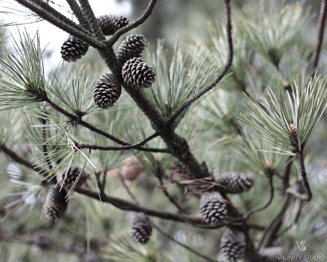 pineconeboughs