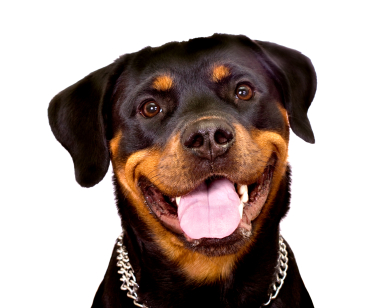 Gus, a 135-pound Rottweiler, took a liking to the one afraid of dogs, yours truly