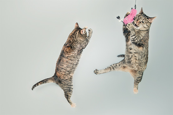 cats flying in air with toy.jpg