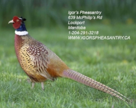 Ring-necked_Pheasant_s60-13-003_l_1 (1).jpg