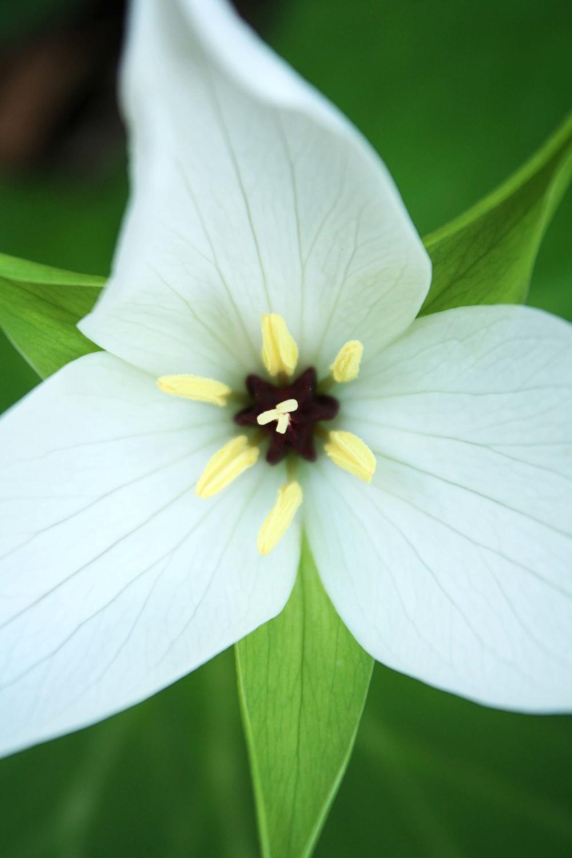 Trillium erectum albiflorum.