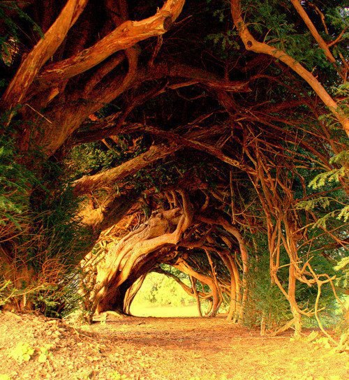 1000 year old yew trees.jpeg