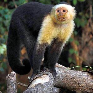 FYA 50k-100k Howler Monkey.png
