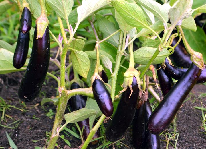 hansel eggplant.jpg