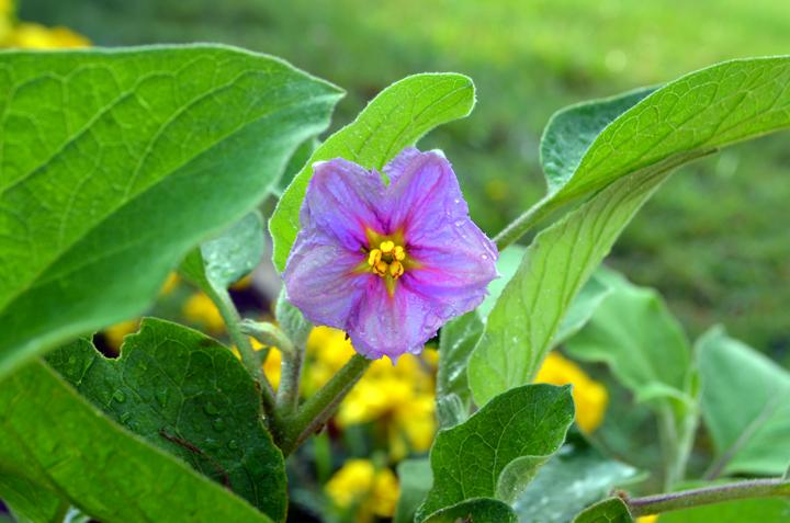 eggplantflower.jpg