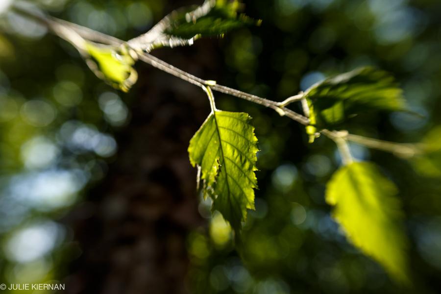48:3 Leaves in Backlight